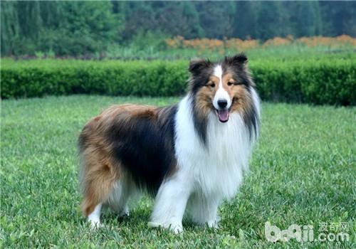 犬诺卡氏菌病的病原体介绍-狗狗常见病